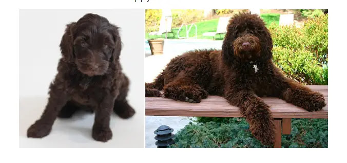 chocolate-labradoodle-and-adult