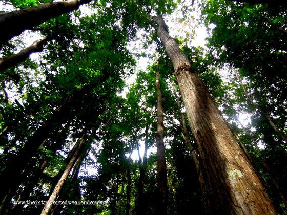 Inside the man-made forest in Bohol