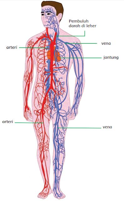 yakni pembuluh nadi dan pembuluh balik Pembuluh nadi disebut arteri Materi Sekolah |  Perbedaan Pembuluh Nadi dan Pembuluh Balik (Halaman 6)