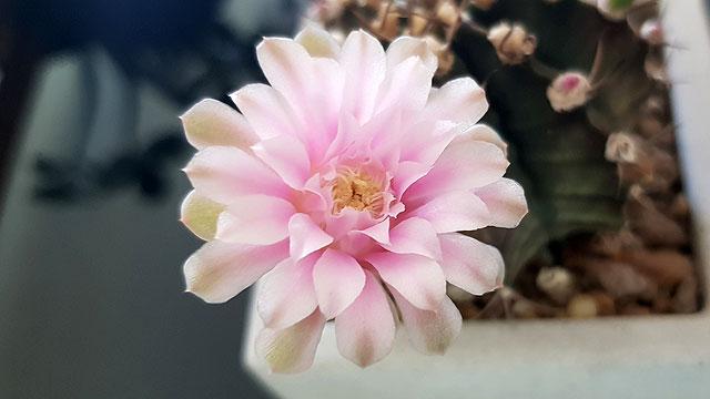 แคคตัสยิมโนดอกสีชมพู