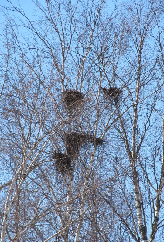 Грачиные гнезда