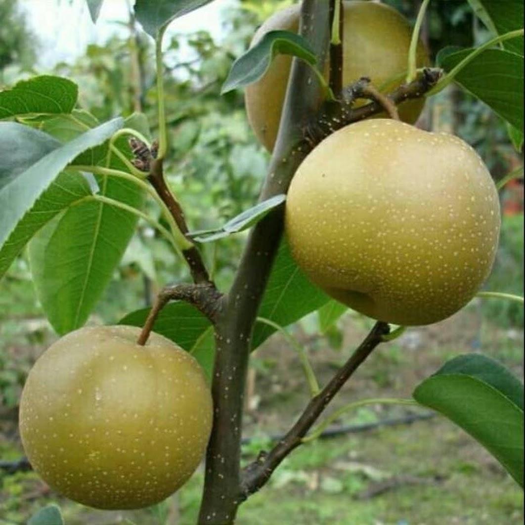 Bibit buah pir Asia bibit sangat berkualitas Mojokerto