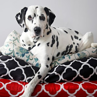 Dalmatian dog resting on stack of homemade dog beds