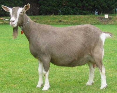 toggenburg goat, toggenburg goats, about toggenburg goat, toggenburg goat characteristics, toggenburg goat coat color, toggenburg goat color varieties, toggenburg goat coloration, toggenburg goat facts, toggenburg goat farming, raising toggenburg goats for milk