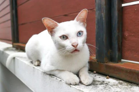 khao manee cat - all you want to know about khao manee cats