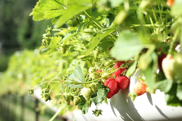 strawberry-farming-in-hindi