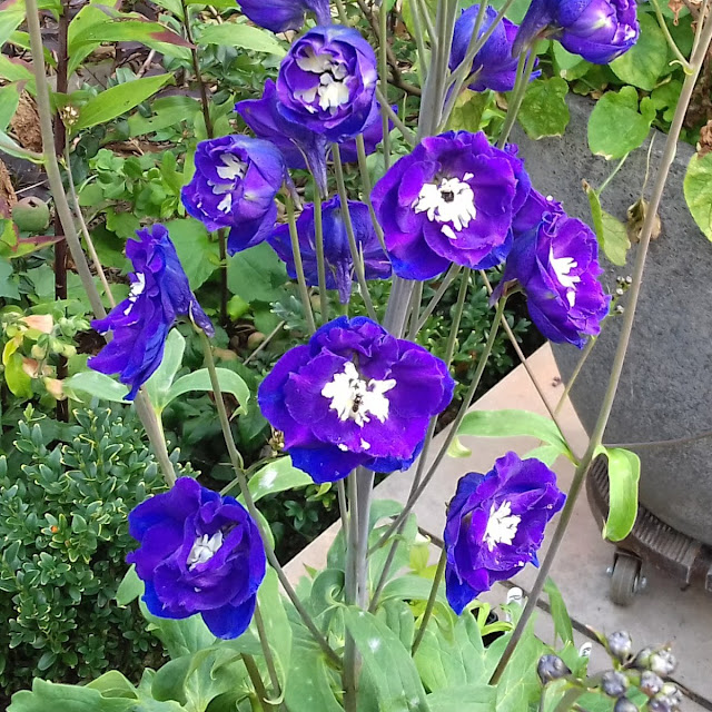 Delphinium Elatum Nobility - first year flowers in September
