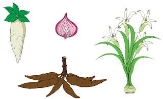 Perkembangbiakan Tumbuhan dengan Umbi www.simplenews.me