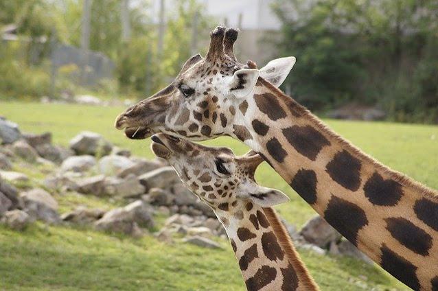Weird Information & Facts About Giraffe in Hindi