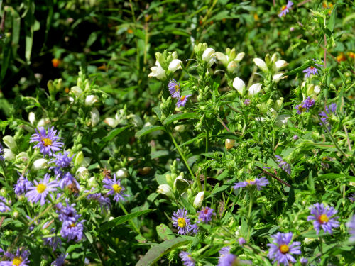 New England Aster with Turtlehead