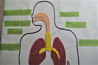 como hacer una maqueta del aparato respiratorio