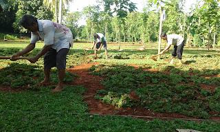 Jual Rumput Gajah Mini di Bekasi,Jual Rumput Taman Murah di Bekasi,Tukang Rumput Murah di Bekasi