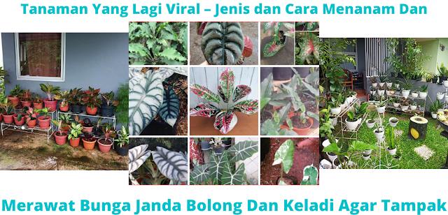 Bunga Janda Bolong