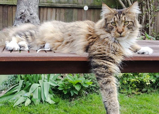 Kanji a large Maine Coon was shot with an airgun while wandering around outside the home in the UK