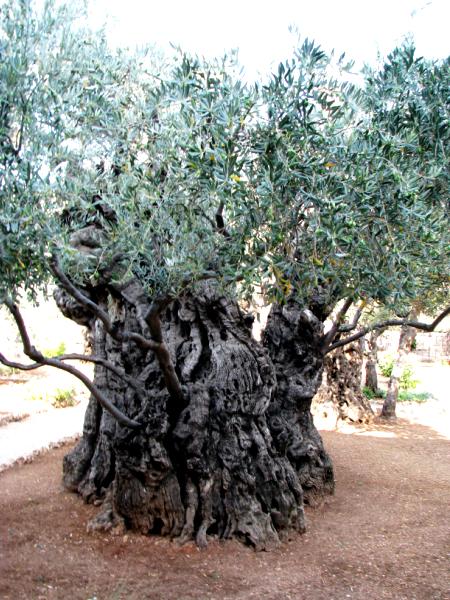 Ogród Oliwny, Oliwka