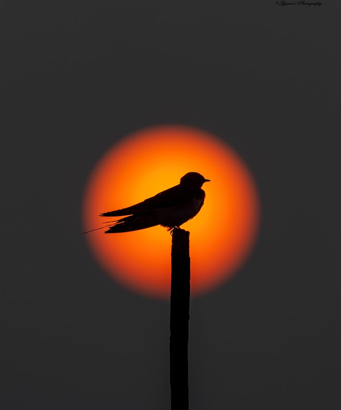 Barn swallow during sunrise