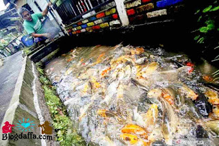 Cara budidaya ikan di saluran air depan rumah