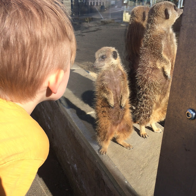 Meerkats at Cannon hall farm