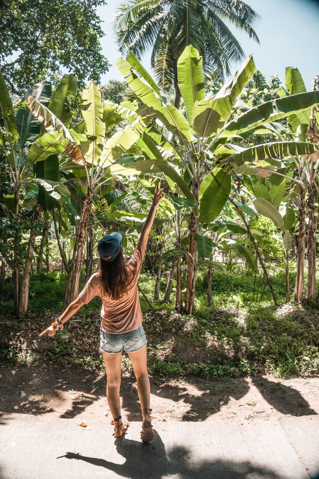 Seszele natura, Seszele banany, drzewo bananowe, plantacja bananów, drzewo bananowe na Seszelach, owoce na Seszelach