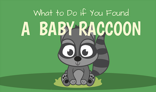 What to do if you find a child racoon #infographic