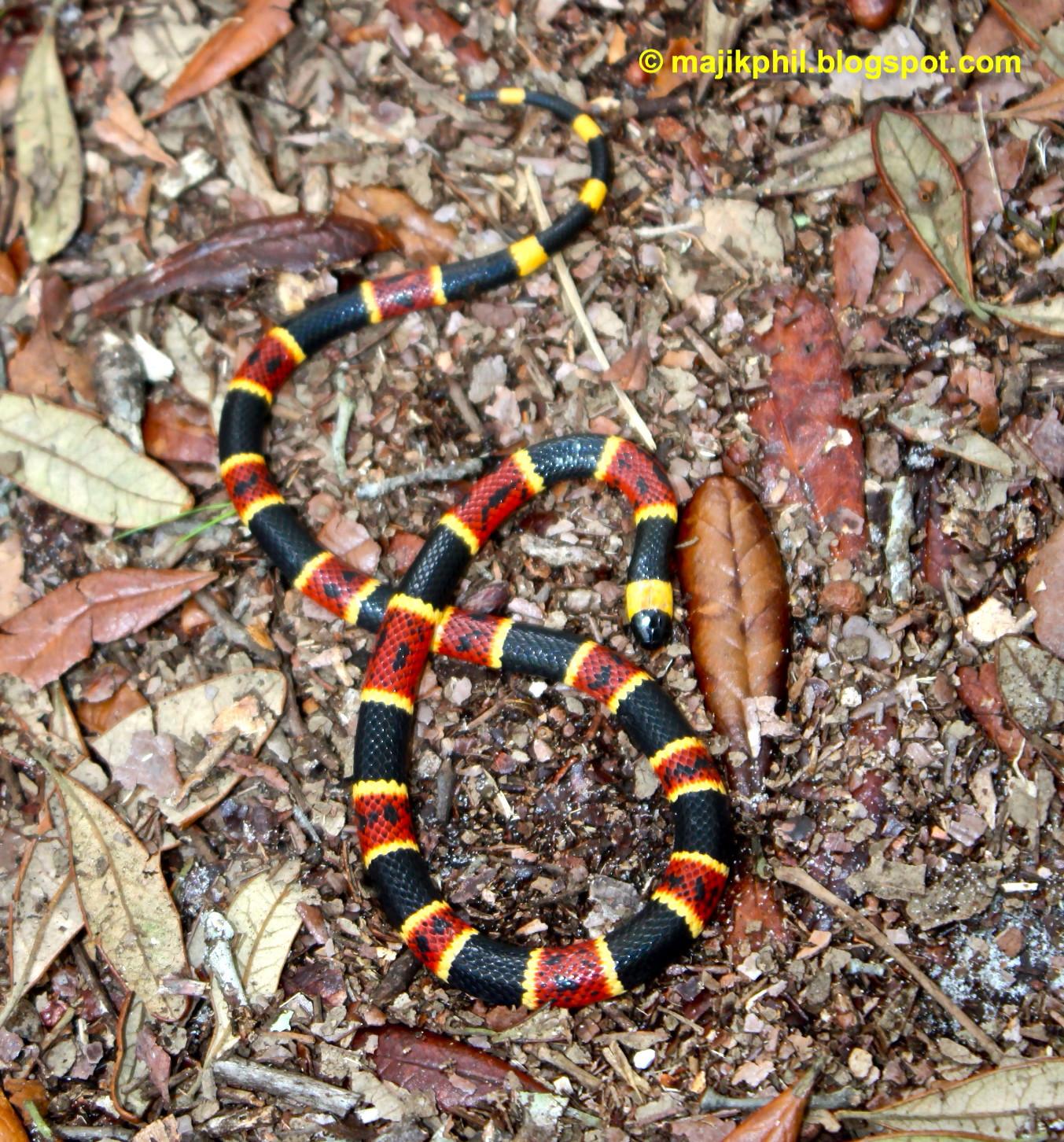 b385132e2 Coral Snake Season | Phillip's Natural World