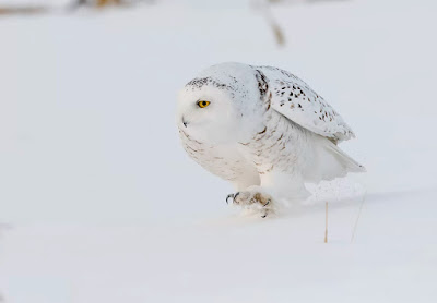Snowy owl bird