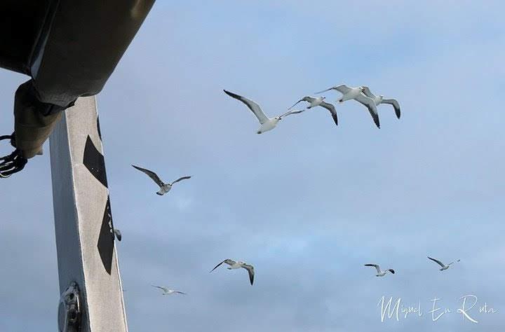 Gaviotas-siguiendo-barco