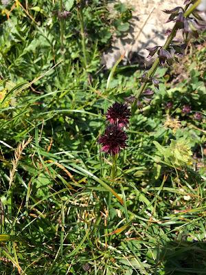 [Orchidaceae] Nigritella nigra rhellicani - Vanilla Orchid (Moretta, Vaniglia d'Alpe).
