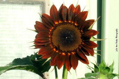 Chianti Hybrid Sunflower Blossom at 66 days on May 23, 2018