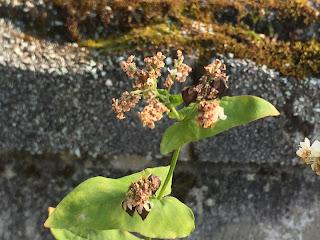 お店の前にある夏そばの花に、黒いそばの実がなりました。