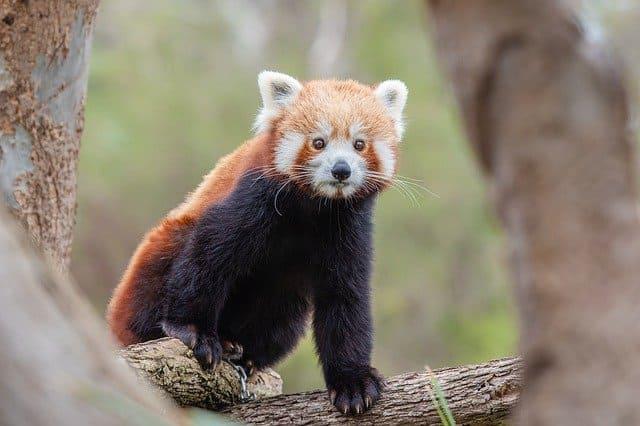 panda rojo en peligro de extincion