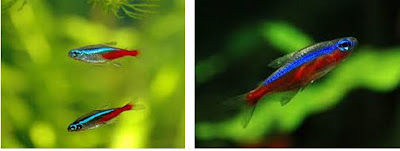 Perbedaan Ikan Neon Tetra dan Ikan Cardinal