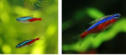 Perbedaan Ikan Neon Tetra dan Ikan Cardinal yang Mudah Diingat