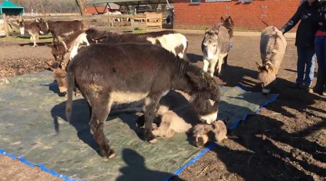 Video Keledai yang menangisi temannya yang akan menuju kematian