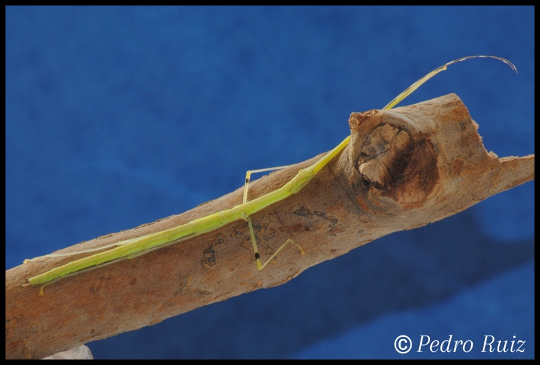 Ninfa  hembra L6 de Anarchodes annulipes, 7 cm de longitud
