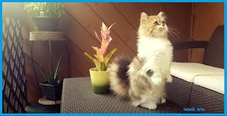 kucing Munchkin  yang pendek,cantik dan lucu