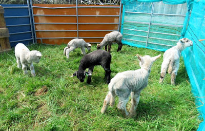 Lambs on the HenSafe smallholding