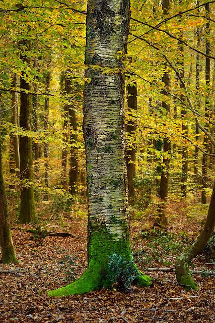 Merisier, Gros Fouteau, Forêt de Fontainebleau.