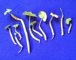 original ayurvedic urea dhatrumurgasiniy herbs
