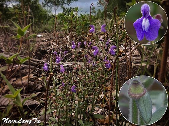 Scutellaria glandulosa