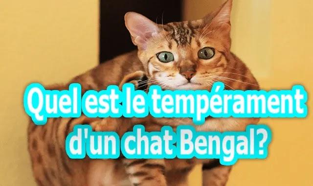 Quel est le tempérament d'un chat Bengal