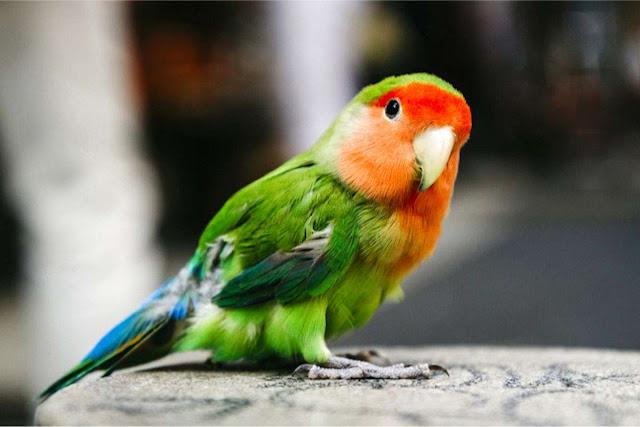 Lovebird Peach