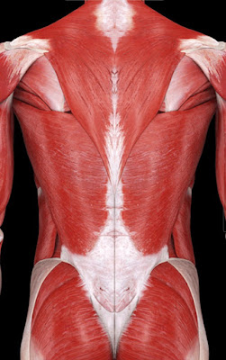 lats, gluteal muscles, back pain