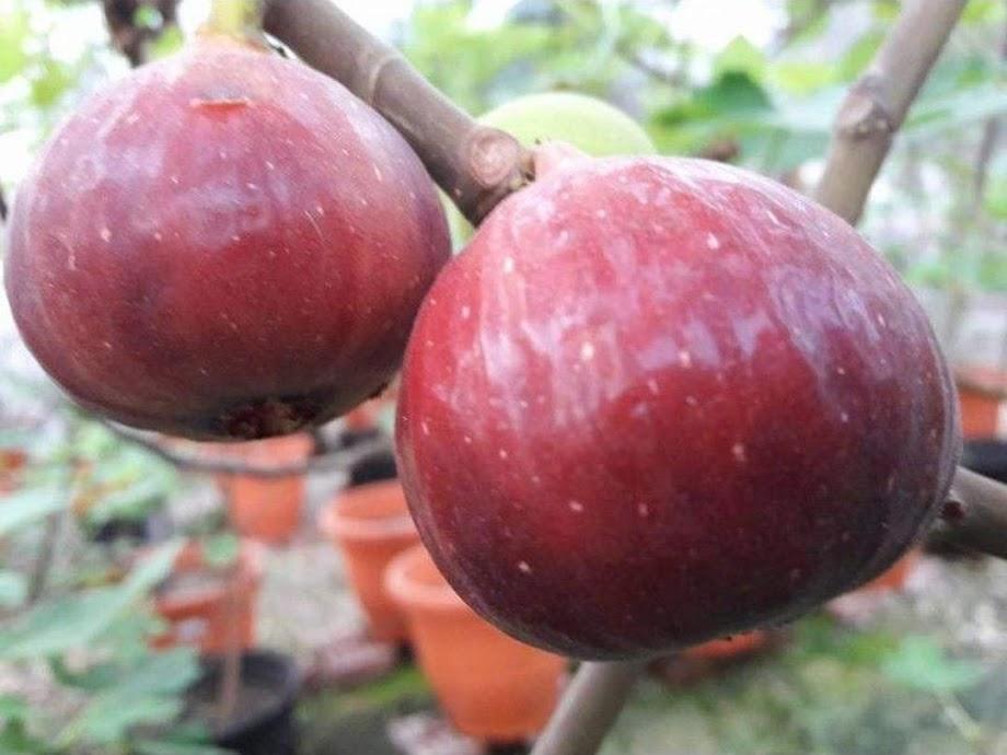 Bibit buah tin terlaris RED PALESTINE Bibit buah tin merah jumbo Sulawesi Selatan
