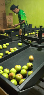 sortir buah apel malang