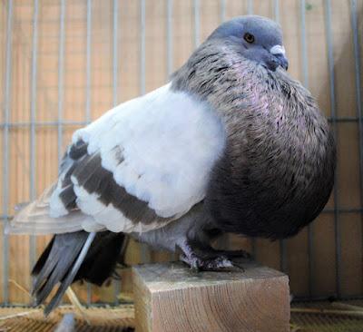 Buchon Marchenero - cropper pigeons - spanish pigeons