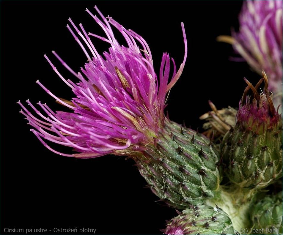 Cirsium palustre - Ostrożeń błotny kwiat