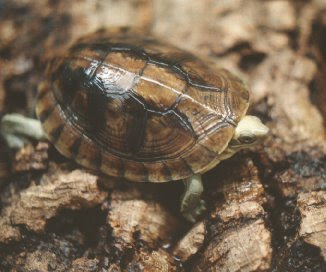 endangered box turtle