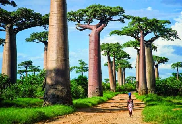 Resultado de imagem para arvore baobá