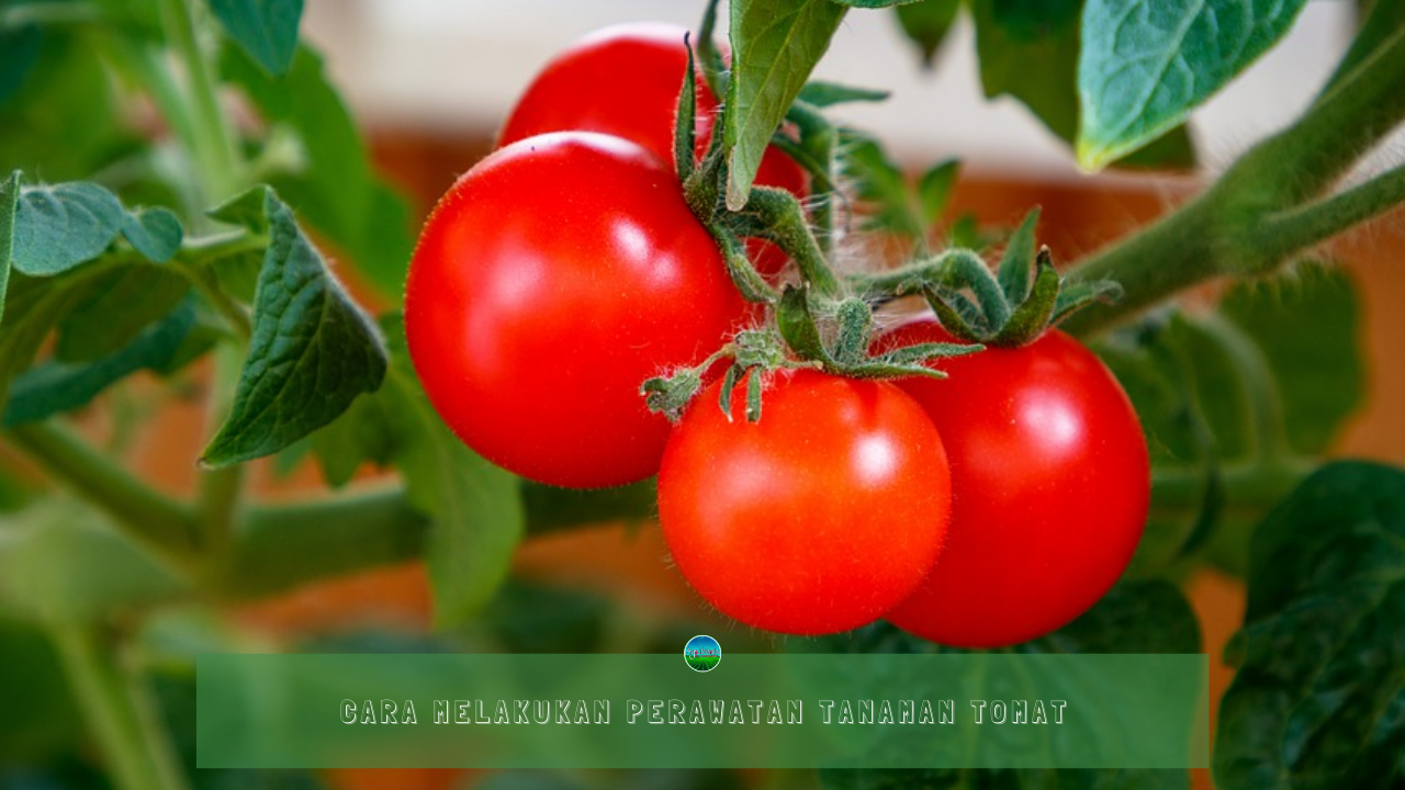 Cara Melakukan Perawatan Tanaman Tomat